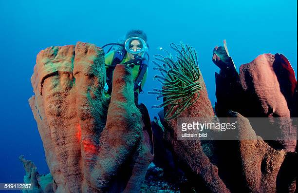 scuba diver and elephant ear sponge Papua New Guinea Pacific ocean