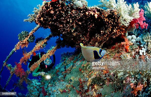 Scuba diver and Emperor angelfish on the shipwreck Aida Pomacanthus imperator Egypt Africa Red Sea
