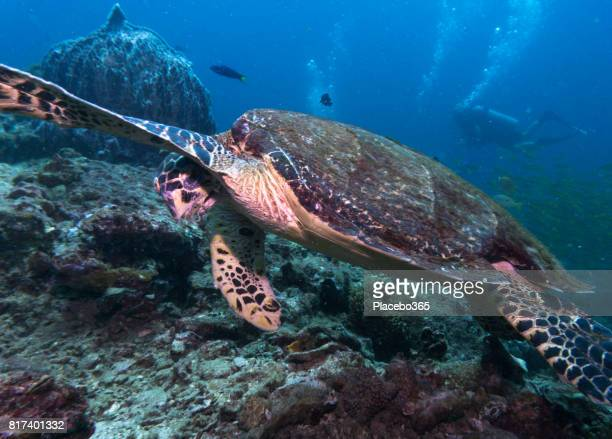 Scuba Diver and Endangered Species Hawksbill Sea Turtle (Eretmochelys imbricate) Dabbing.