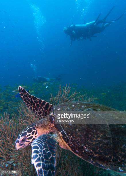 Scuba Diver and Endangered Species Hawksbill Sea Turtle (Eretmochelys imbricate).