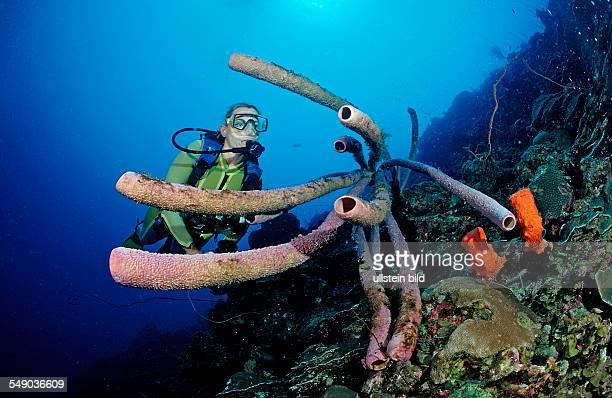 Scuba diver and Lavender Stovepipe sponge Aplysina archeri Netherlands Antilles Bonaire Caribbean Sea