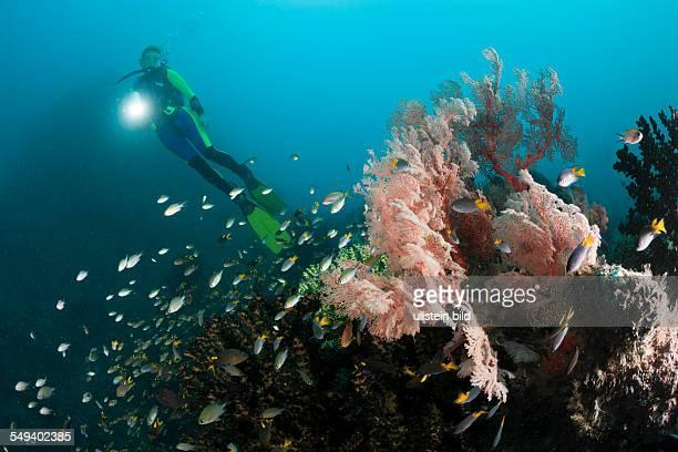 Scuba Diver and Sea Fan Melithaea sp Raja Ampat West Papua Indonesia