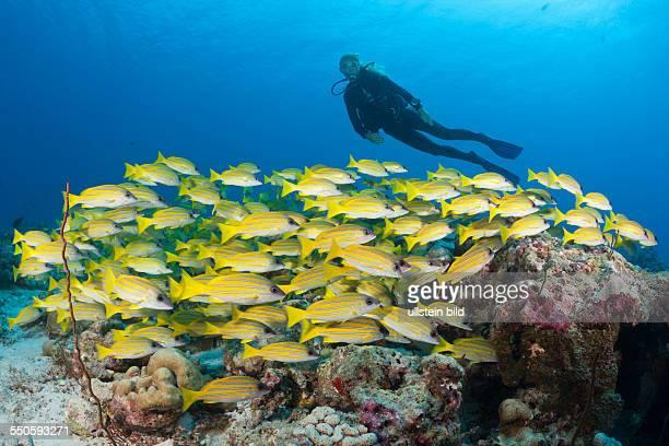 Scuba Diver and Shoal of Bluestripe Snapper Lutjanus kasmira North Male Atoll Maldives
