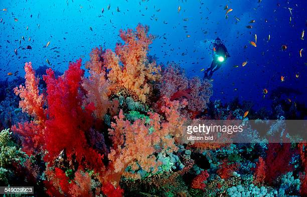 Scuba diver and soft corals Egypt Red Sea Brother Islands