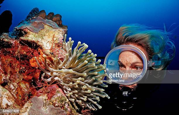 Scuba diver and Spider hermit crabs in anemone Stenorhynchus seticornis Netherlands Antilles Bonaire Caribbean Sea