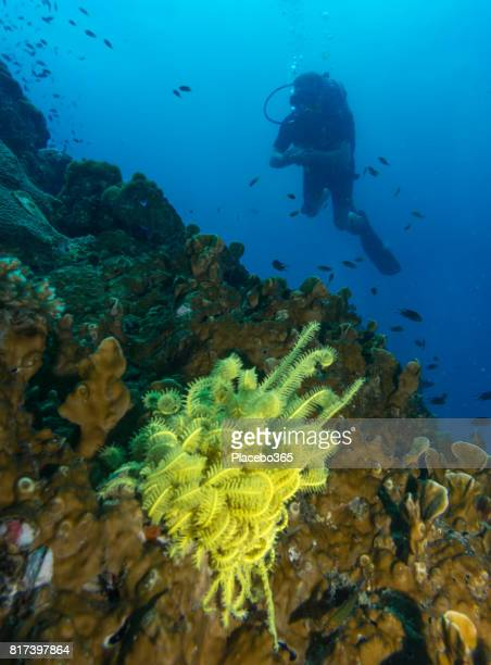 Scuba Diver and yellow Feathered Sea Star (Crinoids)