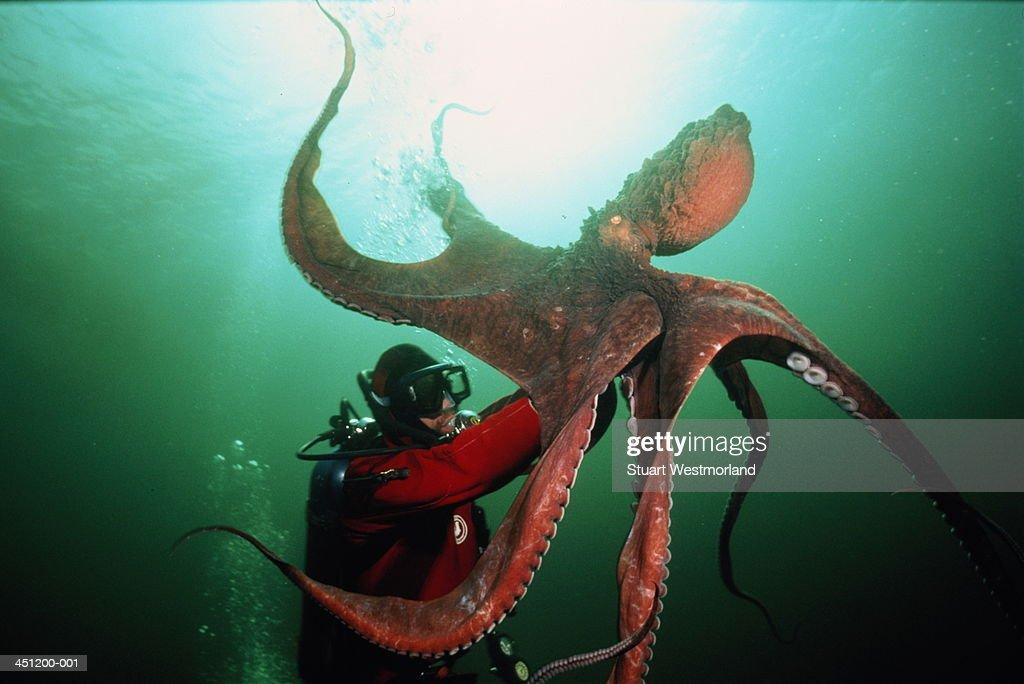 Scuba diver handling giant octopus (Octopus dolfeini), Canada : Stock Photo