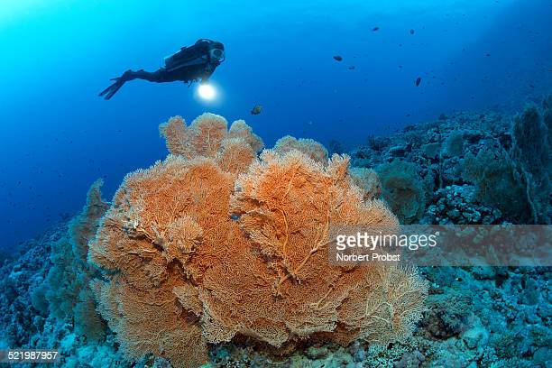 Scuba diver holding a lamp looking at Giant Sea Fan -Annella mollis-, dive site Shaab Sharm, eastern plateau, Red Sea, Egypt