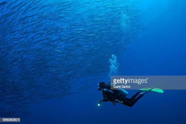 Scuba Diver looking at a school of Blackfin Barracuda, Sipadan Island, Borneo, Malaysia