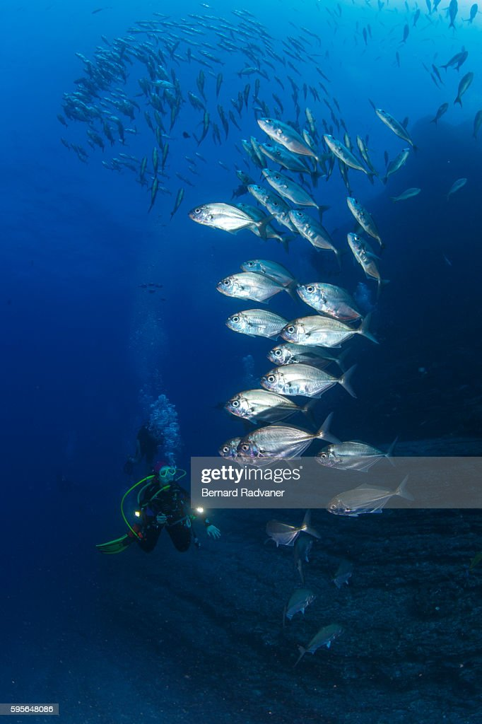 scuba diver photographing a school of jack fish