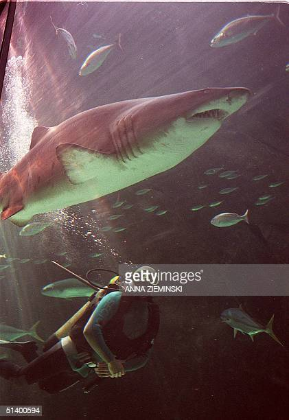 A scuba diver swims with a raggedtooth shark in the deepsea tank at the Two Oceans Aquarium in Cape Town 29 April 1999 As an added tourist attraction...