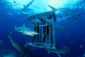 Scuba divers observing Caribbean reef sharks (Carcharhinus perezi)