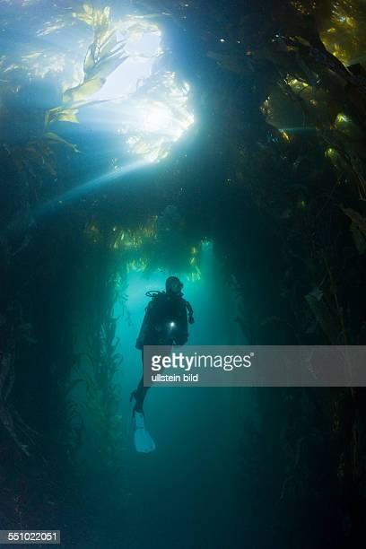 Scuba Diving in Kelp Forest Macrocystis pyrifera San Benito Island Mexico
