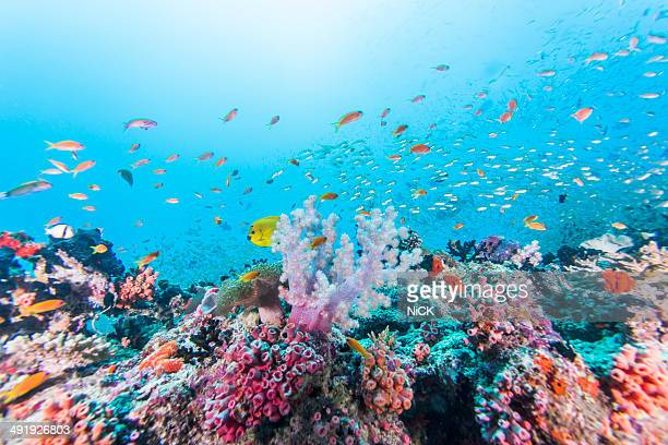 Scuba diving with colorful reef and coral fishes.