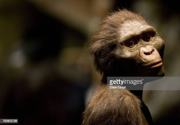 A sculptor's rendering of the hominid Australopithecus afarensis is displayed as part of an exhibition that includes the 32 million year old...