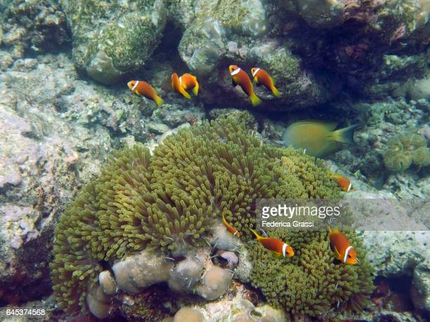 Sea Anemone (Hecteratis magnifica) And Clown Fish (Amphiprioninae)