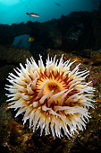 A large fish-eating anemone is a bright spot in the debris field of the Humble SM-1 wreck near Point Conception, California.