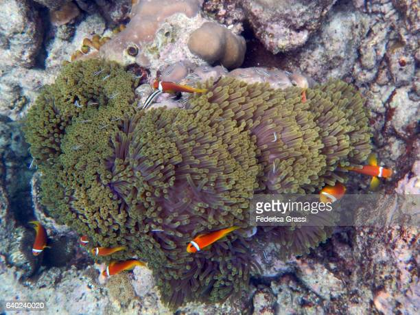Sea Anemone With Lots of Clown Fish