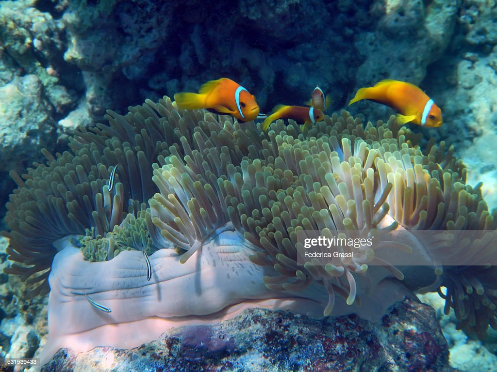 Sea Anemone with Three Orange Clown Fish