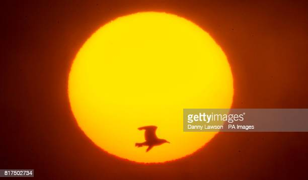 A sea bird flies past the rising sun near the RSPB nature reserve at Bempton Cliffs in Yorkshire as over 250000 seabirds flock to the chalk cliffs to...