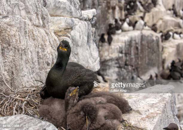 Sea Bird Shag and babies
