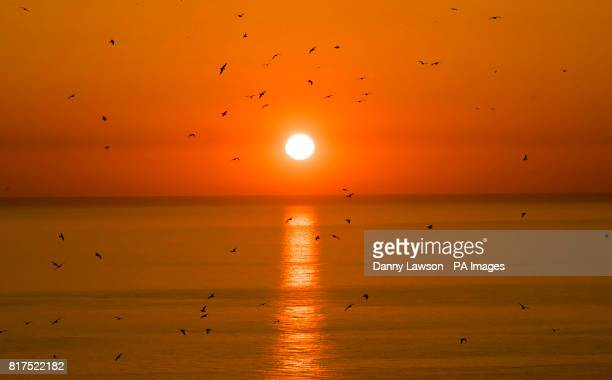 A sea birds fly past the rising sun near the RSPB nature reserve at Bempton Cliffs in Yorkshire as over 250000 seabirds flock to the chalk cliffs to...