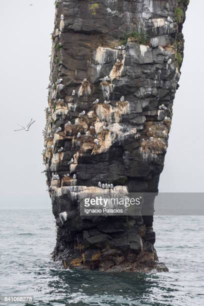 Sea birds nesting on rock, Avacha bay, Kamchatka peninsula