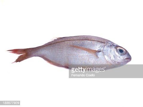 Sea bream fish on white background
