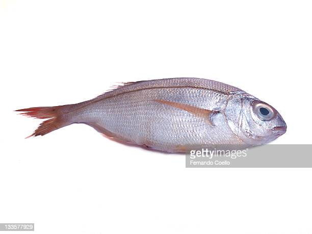 Sea bream fish on white background