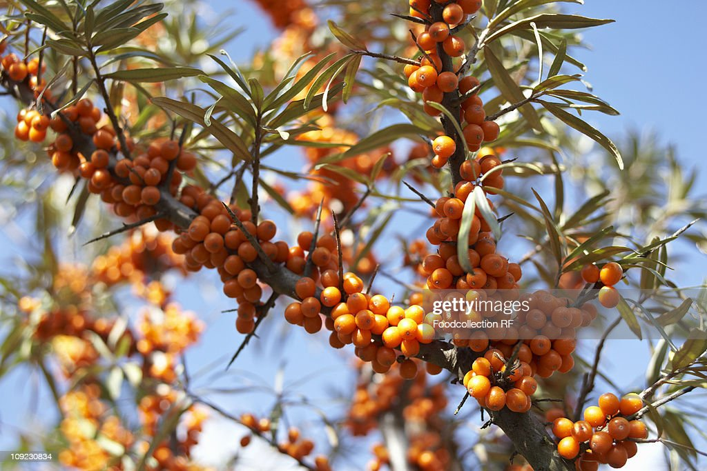 Sea buckthorn berries on bush : Photo