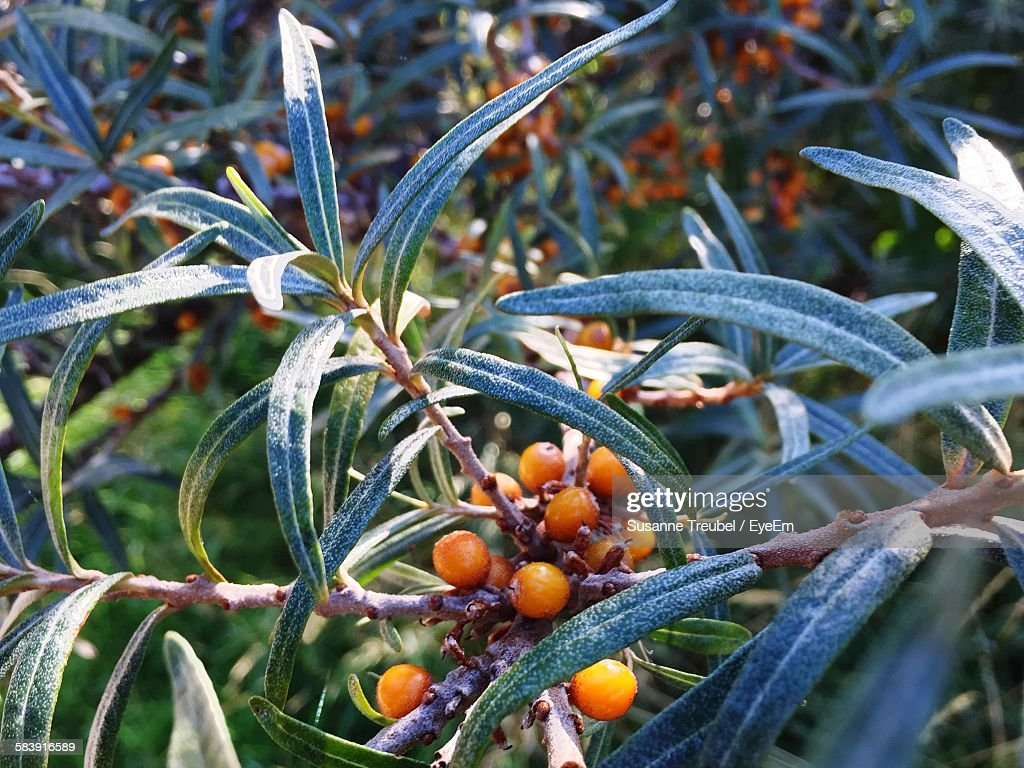 Sea Buckthorn Plant In Park : Photo