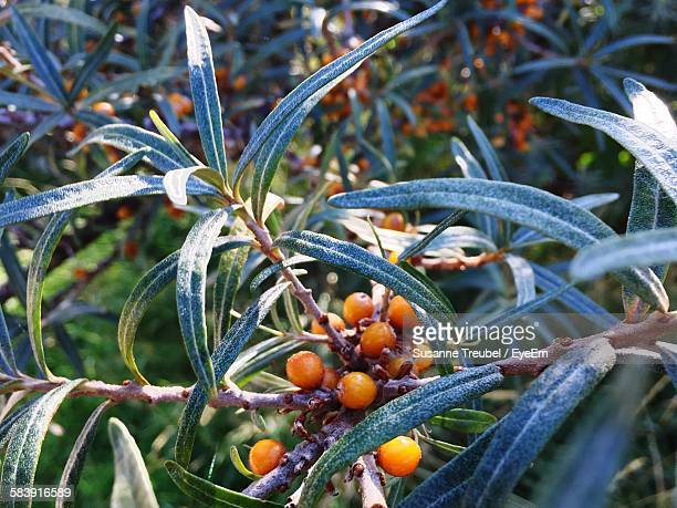 Sea Buckthorn Plant In Park