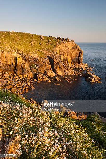 Sea campion (Silene uniflora) on the cliffs at Lands End, Cornwall, England, UK