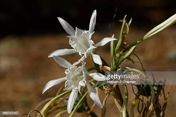 Sea Daffodil, Pancratium maritimum, Lesvos, Greece