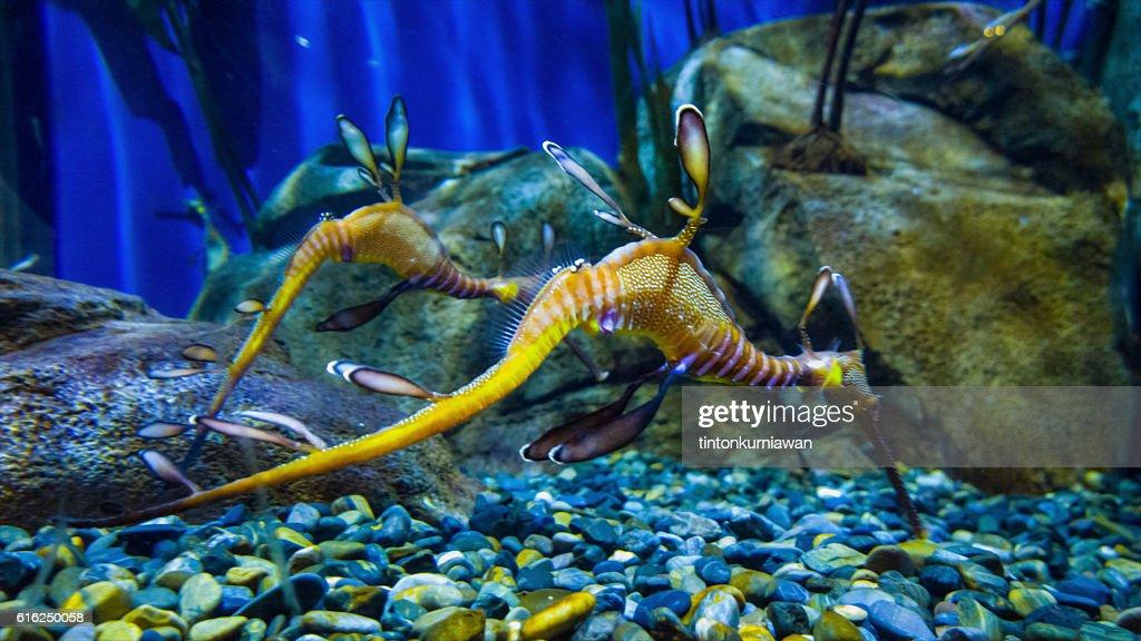 Dragón de mar  : Foto de stock