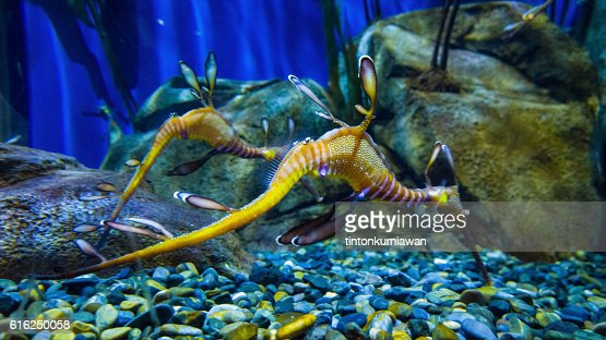 Sea Dragon : Stock Photo