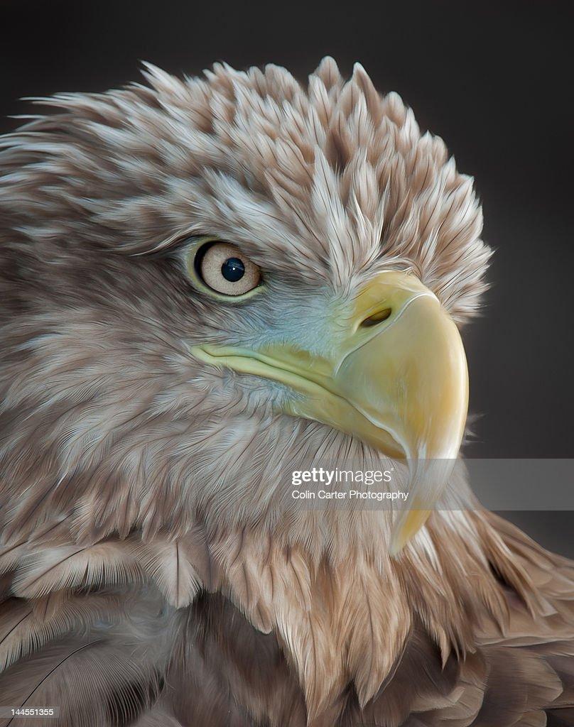 Sea Eagle head portrait