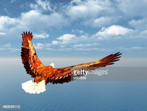 Sea Eagle : Stockfoto