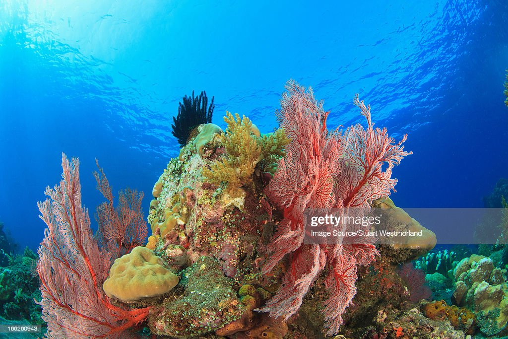 Sea fans on coral reef