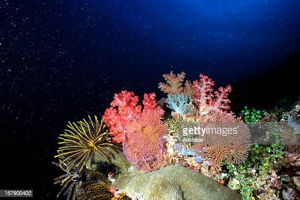 Sea fans soft corals and feather stars Solomon Islands