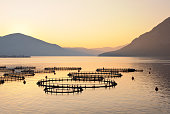 """""""Sea fish farm at sunrise in Greece with mountain backdrop, perimeter of nets are covered in sea birds.See other alternative pictures of this fish farm in the Environmental Issues Lightbox below."""""""