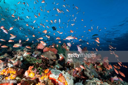 Sea Goldies , Underwater Mountain Batu Bolong, Komodo National Park, Indonesia