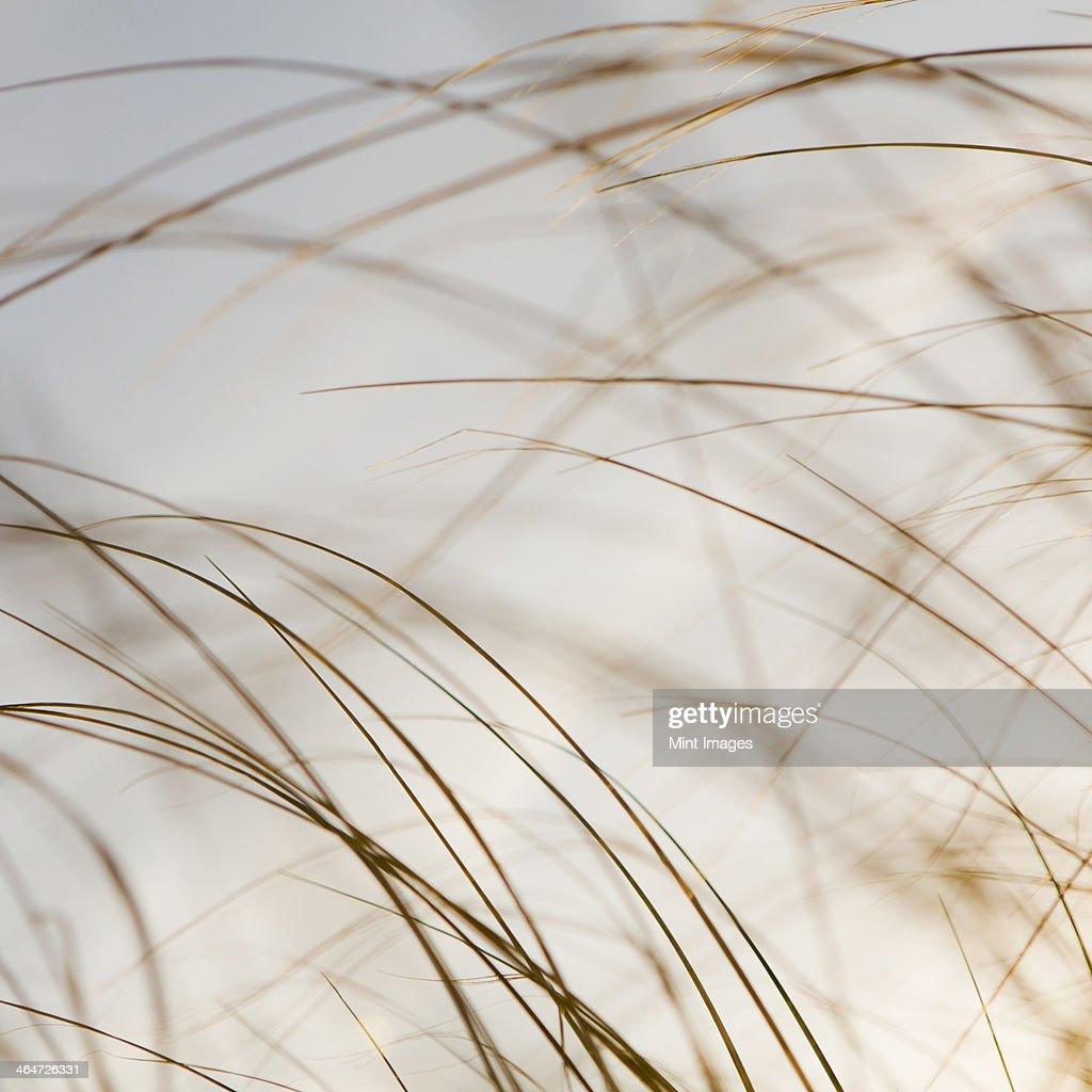 Sea grasses on Long Beach Peninsula,on the coast of Washington state.