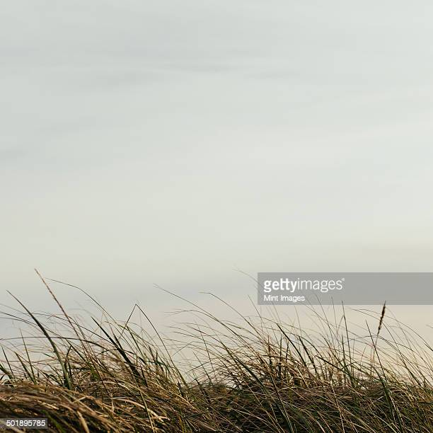Sea grasses on the sand dunes on Long Beach Peninsula dunes and view out to sea.