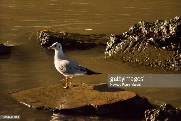 Sea Gull and Muddy Surrounds