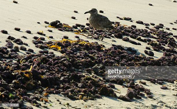 A Sea Gull feeds amongst tens of thousands of dead Sea Urchins washed up on Malibu beach which is closed to swimmers after recent rains caused the...