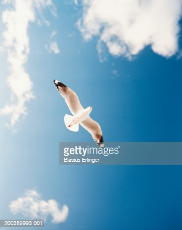 Sea gull (Laridae) in flight, low angle view