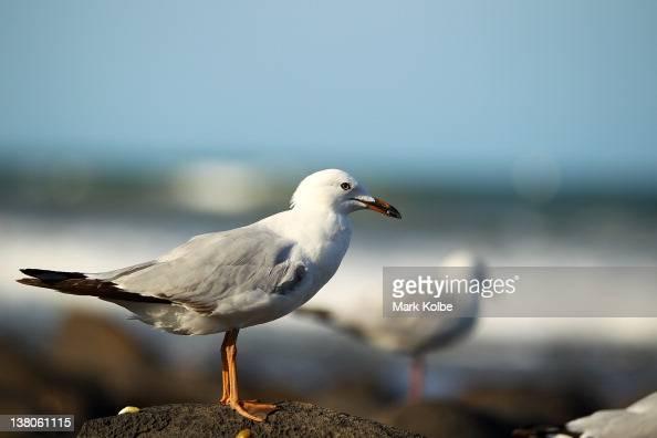 A sea gull is seen on the rocks at Bargara Beach on January 13 2012 near Bundaberg Australia The city of Bundaberg colloquially known as 'Bundy' is...