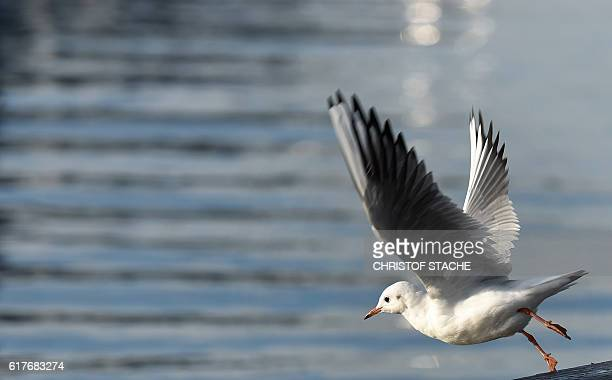 A sea gull takes off near the lake Ammersee in Herrsching southern Germany during sunny autumn weather with temperatures by 15 degrees on October 24...