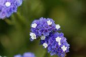 Flowers of a sea lavender (Limonium sinuatum)